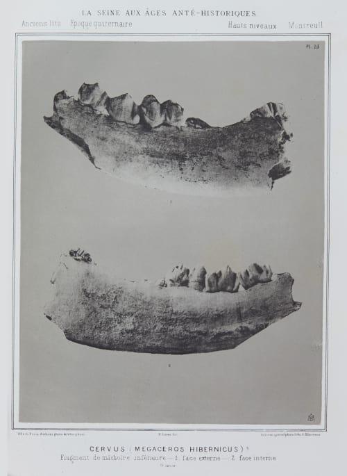 Cervus (Megaceros hibernicus) Bilordeaux, Adolphe,   (French, 1807-1872)