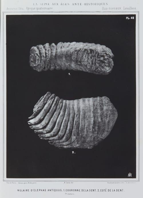 Molaire d'elephas antiquus, 1. Couronne de la dent, 2. Coté de la dent Bilordeaux, Adolphe,   (French, 1807-1872)