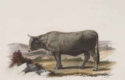 Vache de Mürzthal Tournachon, Adrien  (French, 1820-1910)