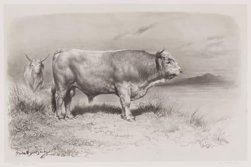 Taureau de West-Highland Tournachon, Adrien  (French, 1820-1910)