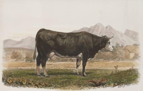 Vache de Fribourg Tournachon, Adrien  (French, 1820-1910)