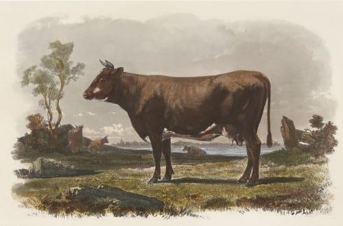 Vache Flamande Tournachon, Adrien  (French, 1820-1910)