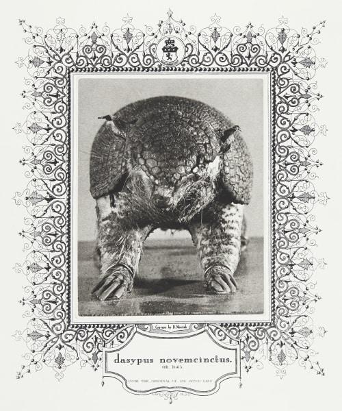 dasypus novemcinctus (Nine-Banded Armadillo) Morrish, David  (Canadian, b.1953)