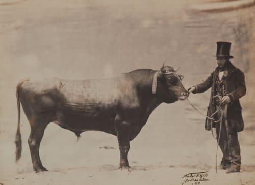 Taureau de Jersey Tournachon, Adrien  (French, 1825-1903)