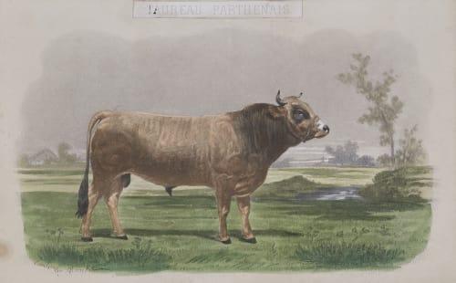 Taureau Parthenais Tournachon, Adrien  (French, 1825-1903)