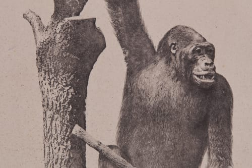 PL. XIII Mammiferes Primates; Gorilla Gina Bisson, Louis-Auguste  (French, 1814-1876)Bisson, Auguste-Rosalie  (French, 1826-1900)