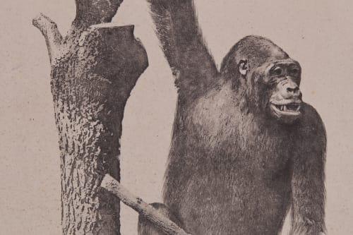 PL. XIII Mammiferes Primates; Gorilla Gina Bisson, Louis-Auguste  (French, 1814-1876)Bisson, Auguste-Rosalie  (French, 1826-1900)