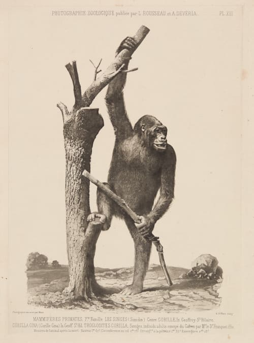 PL. XIII Mammiferes Primates Bisson, Louis-Auguste  (French, 1814-1876)Bisson, Auguste-Rosalie  (French, 1826-1900)