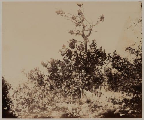 Ain-Jidy: Pommier ou Limon De Sodome Vignes, Louis  (French, 1831-1896)
