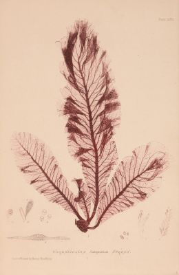 Wormskioldia Sanguinea Spreng Plate LXVII