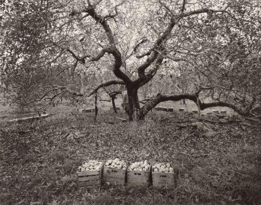 Old Rhode Island Greening Apple Tree