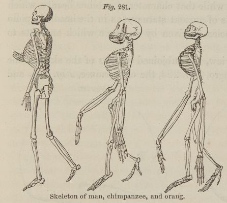 Fig. 281. Skeleton of man, chimpanzee, and orang.