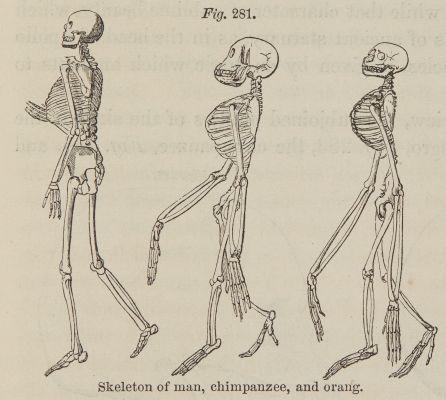 Fig. 281. Skeleton of man, chimpanzee, and orang.