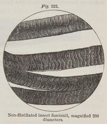 Fig. 222  Non-fibrillated Insect Fasciculi