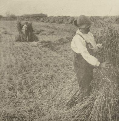 Shocking Corn (Norfolk Marshes)