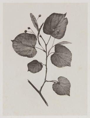 Tilacées – Tilia Parvifolia
