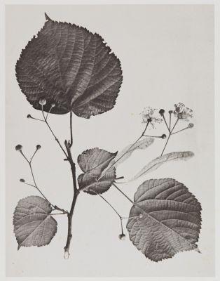 Tilacées – Tilia grandifolia