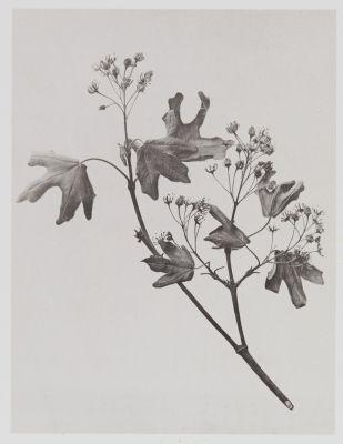 Acérinées – Acer campestre