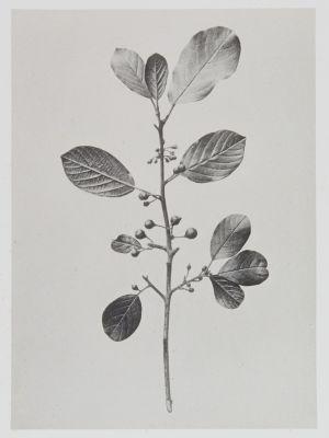 Rhamnées – Frangula vulgaris