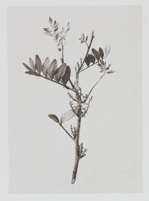 Térébinthacées – Pistacia Lentiscus