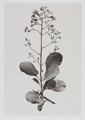 Térébinthacées – Rhus cotinus