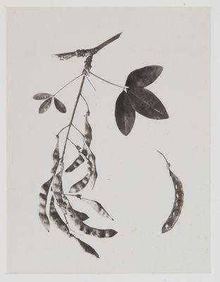 Papilionacées – Cytisus Laburnum