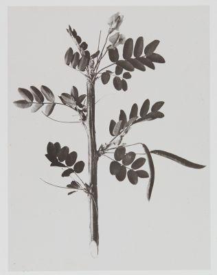 Papilionacées – Robinia Caragana