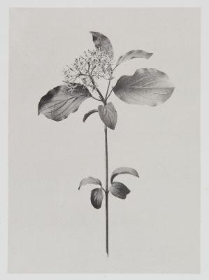 Cornées – Cornus Sanguinea