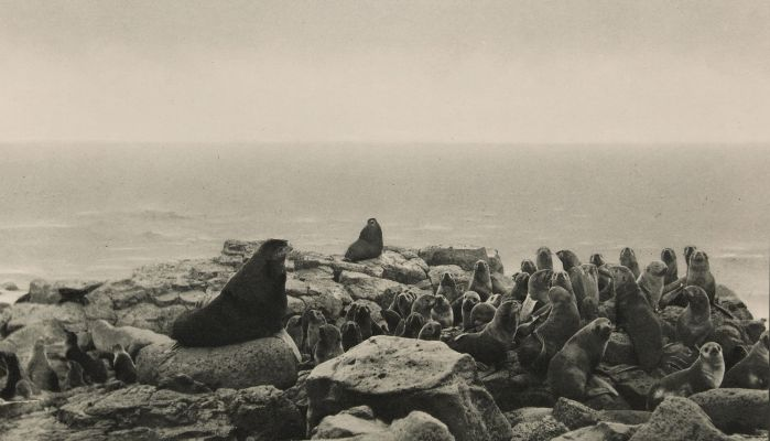 Harem of Fur-seals, Pribilof Islands, Bearing Sea