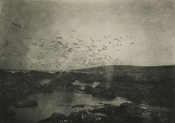 Gulls on St. George Island, Pribilof Group
