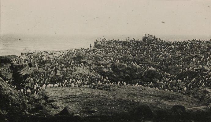 "Murres, or ""Arries,"" on Walrus Island, Pribilof Group"