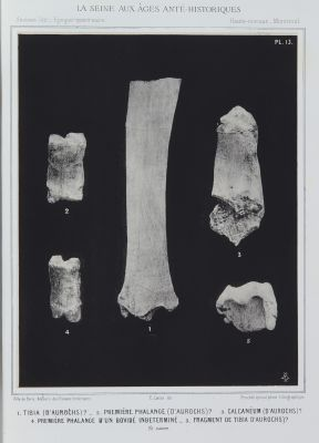 Tibia (d'aurochs) ? …