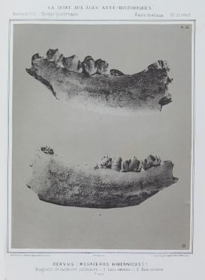 Cervus (Megaceros hibernicus)