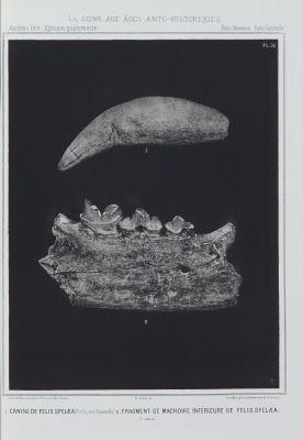 1. Canine de felis spelæa, 2. Fragment de machoire inférieure de felis spelæa