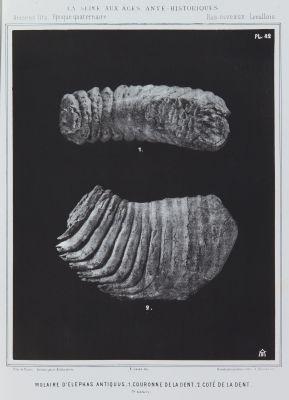 Molaire d'elephas antiquus, 1. Couronne de la dent, 2. Coté de la dent