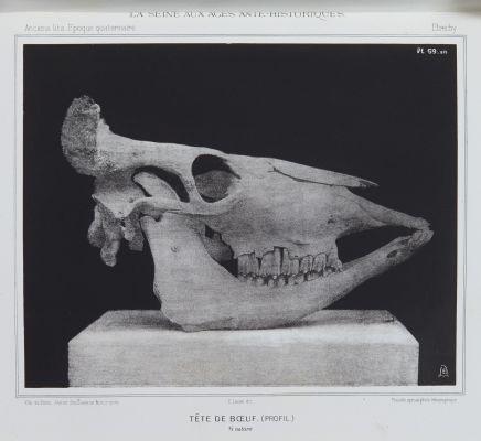 Tête de boeuf (profil)
