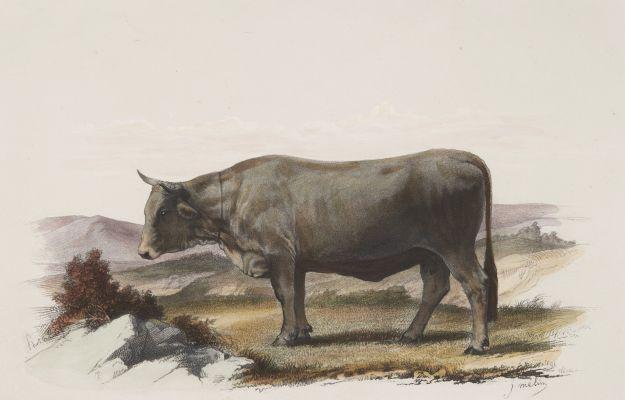 Vache de Mürzthal