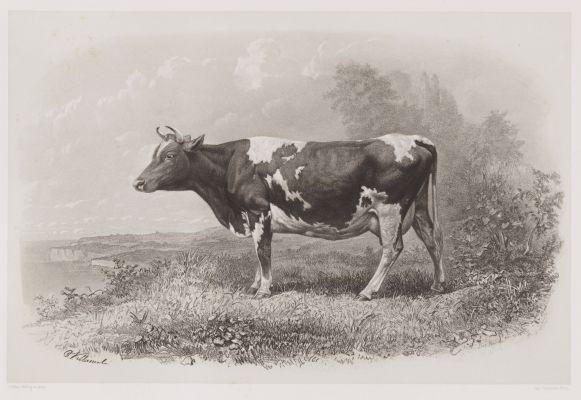Vache De Guernesey