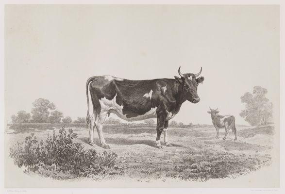 Vache du Jutland
