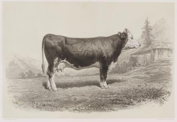 Vache de Berne