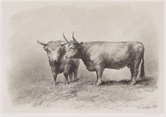 Vache de West-Highland