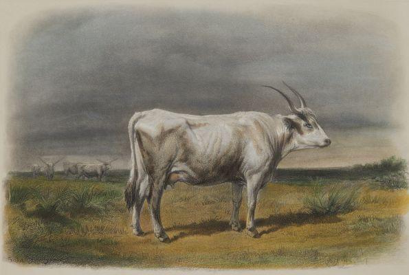Vache Hongroise
