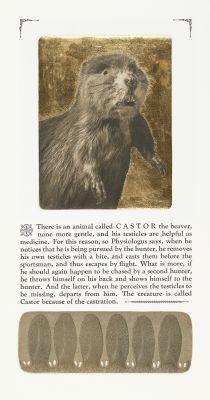 Castor the Bever