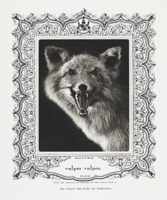 vulpes vulpes (Red Fox)