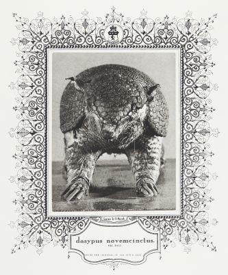 dasypus novemcinctus (Nine-Banded Armadillo)