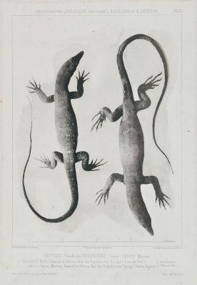 Reptiles. Famille des Varaniens, Genre Varan Merre
