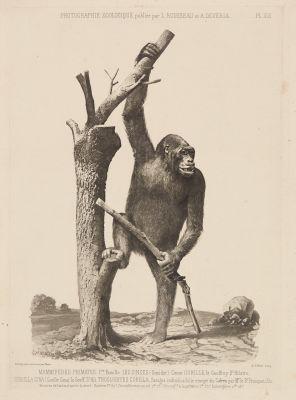 PL. XIII Mammiferes Primates