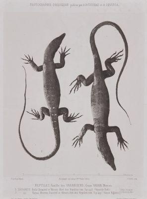 Reptiles. Famille des Varaniens.