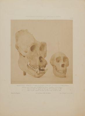 PL. XV Mammiferes Primates