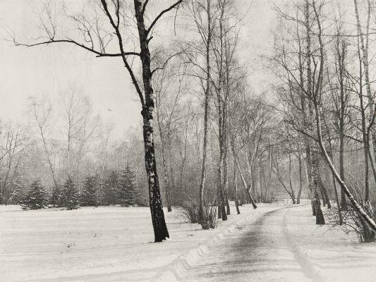 Birkenstand im Winter